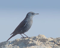Blue Rock-Thrush (Monticola solitarius) photo
