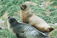 Hookers Sea Lion