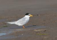 Little tern C20D 03454.jpg