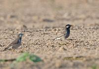 White-cheeked starling C20D 02426.jpg