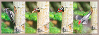 : Sphyrapicus nuchalis; Red-naped Sapsucker