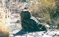 Photo of výr africký, Bubo africanus, Spotted Eagle Owl, Fleckenuhu.