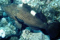 Epinephelus maculatus, Highfin grouper: fisheries, aquarium