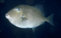 Balistes capriscus, Grey triggerfish: fisheries, gamefish, aquarium