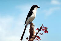 Image of: Lanius collaris (fiscal shrike)