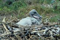 Image of: Pelecanus occidentalis (brown pelican)