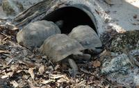 Image of: Gopherus polyphemus (gopher tortoise)