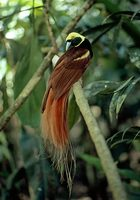 Photo: A Count Raggi's bird of paradise