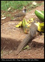 Speckled Mousebird - Colius striatus
