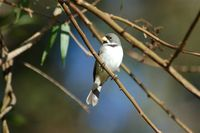 Double-collared Seedeater - Sporophila caerulescens