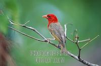 ...Red headed Weaver , male , Kruger national park , South Africa / ( Anaplectes rubriceps , Anaple