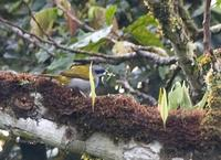 Yellow-shouldered Grosbeak Parkerthraustes humeralis; Sumaco, Ecuador - Nov, 2005 ?? Lou Hegedus