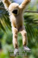 Photo of a baby Lar Gibbon , Hylobates Lar stock photo