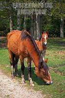 New Forest Mare and Foal , Hampshire , England stock photo