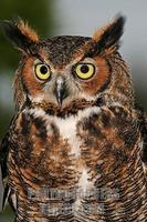 ...Vertical closeup image of a Great Horned Owl ( Bbo virginianus ) taken in Largo Central Park Nat
