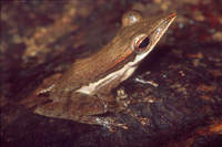 : Polypedates longinasus; Sharp-snout Saddled Tree Frog