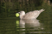 : Larus glaucescens; Glaucous-winged Gull