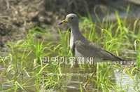 민댕기물떼새 Grey-headed Lapwing