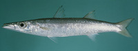 Sphyraena obtusata, Obtuse barracuda: fisheries, gamefish