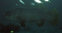 Epinephelus lanceolatus, Giant grouper: fisheries, aquaculture, gamefish, aquarium