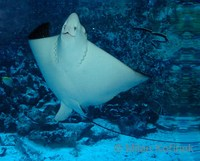 Aetobatus narinari - Spotted eagle ray