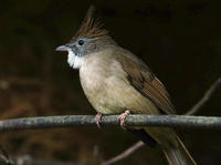Image of: Criniger pallidus (puff-throated bulbul)