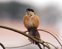 Image of: Lanius schach (long-tailed shrike)