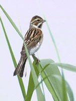Reed Bunting (Emberiza schoeniclus) photo