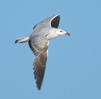 Audouin's Gull (Larus audouinii) photo