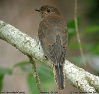 Fan-tailed Cuckoo - Cacomantis flabelliformis