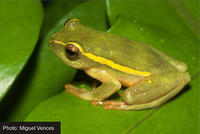 : Hyperolius semidiscus; Yellow-striped Reed Frog