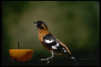 : Pheucticus melanocephalus; Black-headed Grosbeak