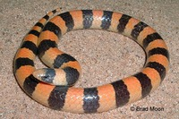 : Chilomeniscus cinctus; Variable Sand Snake