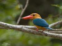 Stork-billed Kingfisher Scientific name - Halcyon capensis (endemic gouldi race)