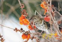 호랑지빠귀  White's ground thrush