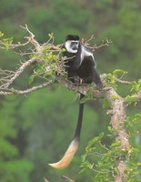 photograph of black-and-white colobus monkey : Colobus guerza