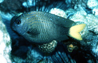 Microspathodon chrysurus, Yellowtail damselfish: fisheries, aquarium