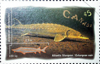 Acipenser oxyrinchus oxyrinchus, Atlantic sturgeon: fisheries, aquarium