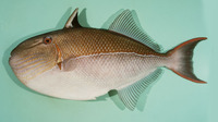 Xanthichthys caeruleolineatus, Bluelined triggerfish: fisheries