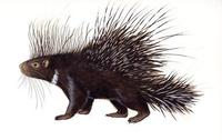 Image of: Hystrix cristata (North African crested porcupine)