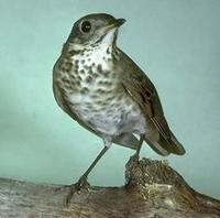 Image of: Catharus minimus (grey-cheeked thrush)
