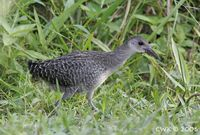 Slaty-breasted Rail - Gallirallus striatus