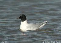 Little Gull - Larus minutus