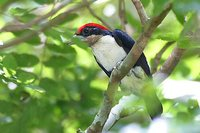 Black-girdled Barbet - Capito dayi