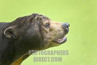 Malayan Sun Bear ( Ursus malayanus ) stock photo