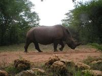 We capture quite a lot of rhino in our camera traps. Coming...