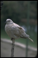: Streptopelia decaocto; Collared Dove