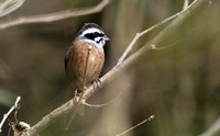 Japanese Meadow Bunting Emberiza cioides ciopsis