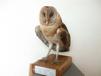 박제된 '가면올빼미'(Eastern Grass Owl Tyto longimembris) 표본.