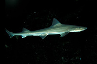 Mustelus asterias, Starry smooth-hound: fisheries, gamefish